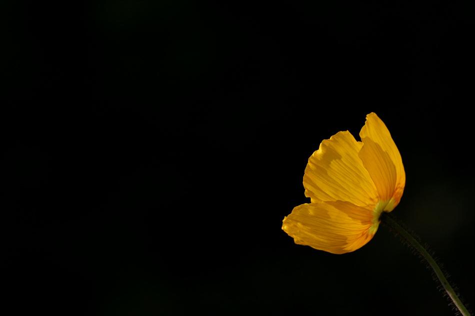 꽃양귀비(아이슬랜드 포피)