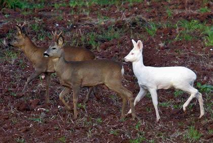 흰색 사슴, 눈에 띄긴 한다. 전혀 보호색이 없는..