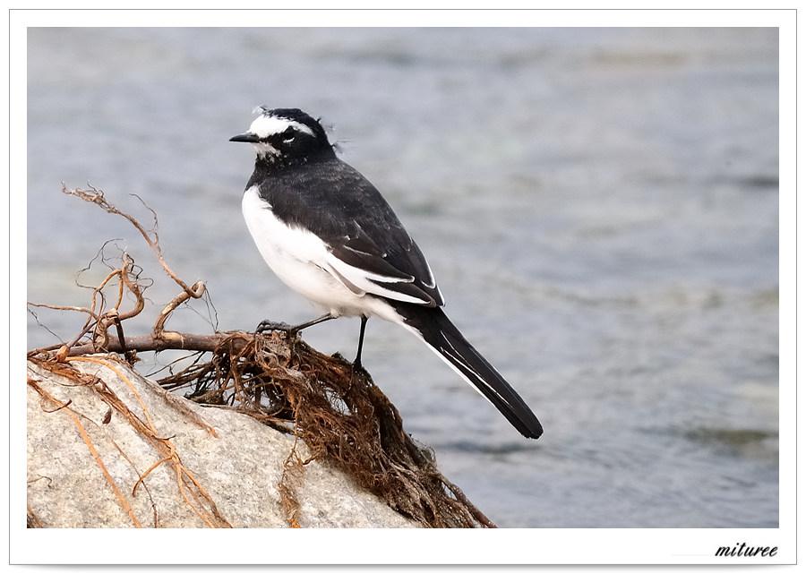 포항의 새들 - 검은등할미새