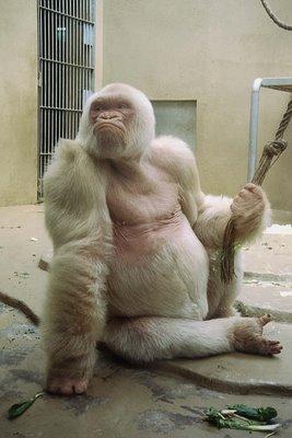 바르셀로나 동물원에서 살았다는 알비노 고릴라 '눈송이'