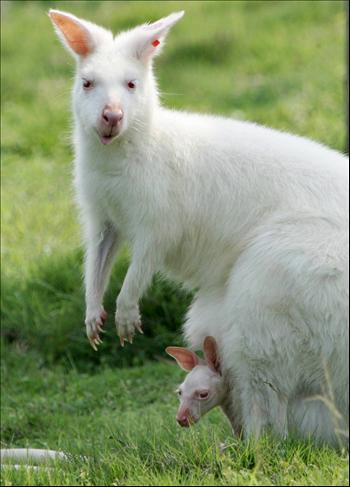 흰색 캥거루.. 알비노 증상인 흰색과 빨간색 눈을 가지고 있다.